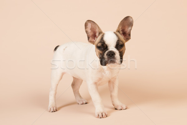 Stock photo: French bulldog puppy
