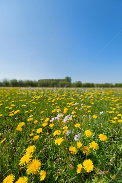 タンポポ 風景 黄色 花 フィールド ストックフォト © ivonnewierink