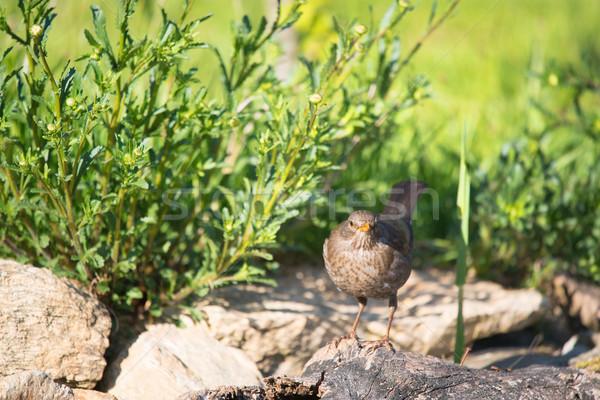 Blackbird nature paysage Photo stock © ivonnewierink
