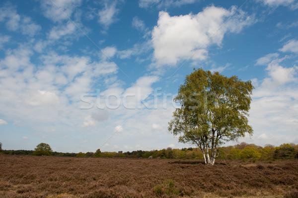 Nyírfa fa tájkép tavasz természet Stock fotó © ivonnewierink