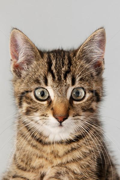 Portrait little striped cat Stock photo © ivonnewierink