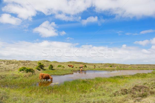 Bovins eau potable île eau paysage Photo stock © ivonnewierink