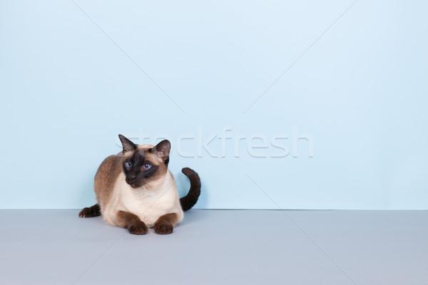 シャム猫 シール ポイント 青い目 グレー 背景 ストックフォト © ivonnewierink