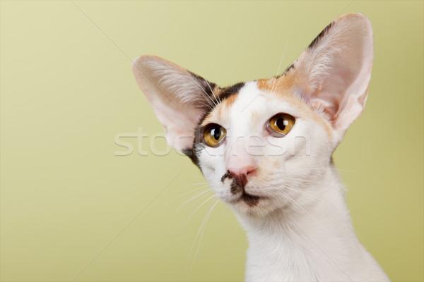 Oriental Shorthair cat Stock photo © ivonnewierink