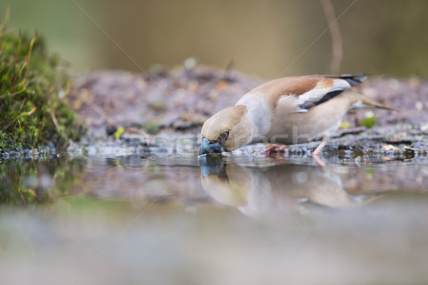 Hawfinch at water front Stock photo © ivonnewierink