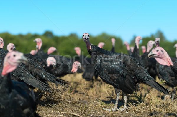 Foto stock: Muitos · fazenda · ao · ar · livre · grupo · animais · natal