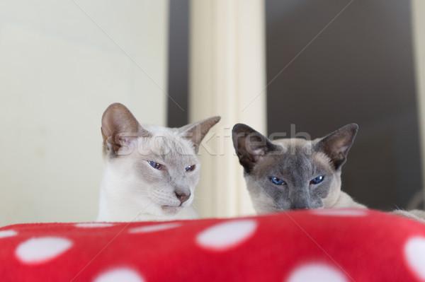 Orgona kék pont sziámi macska felnőtt macskák Stock fotó © ivonnewierink