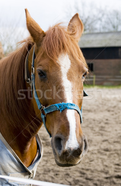 Stock photo: Portrait of a brown horse