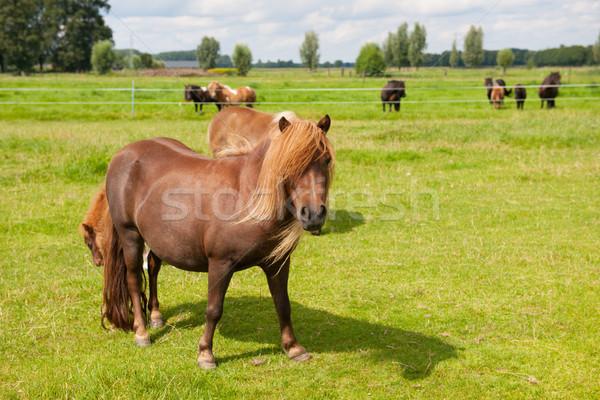 Pony in the meadows Stock photo © ivonnewierink