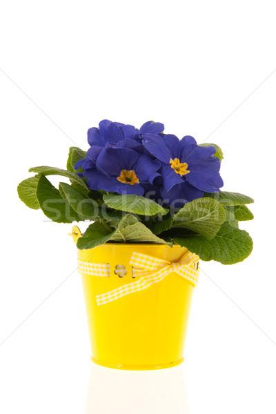 Azul prímula amarelo balde isolado branco Foto stock © ivonnewierink