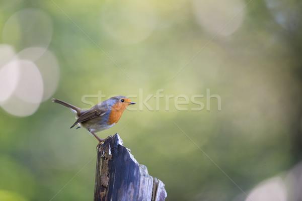 European Robin Stock photo © ivonnewierink