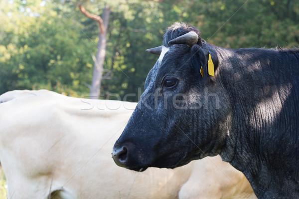 Piedmontese cows Stock photo © ivonnewierink