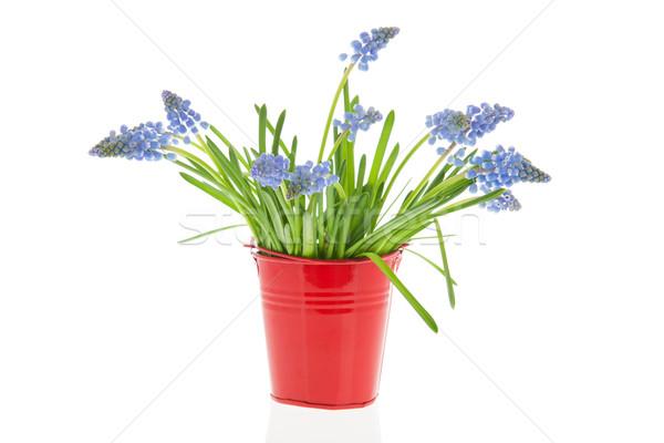 Bouquet Blue grape hyacinths Stock photo © ivonnewierink