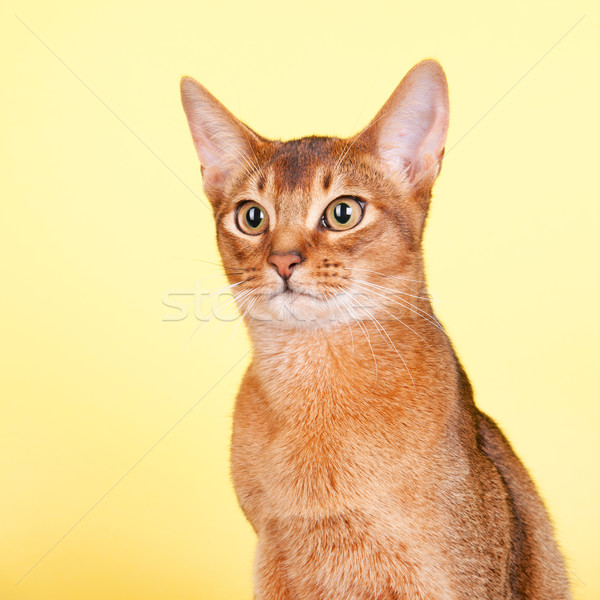 Chat portrait jaune animaux belle brun Photo stock © ivonnewierink