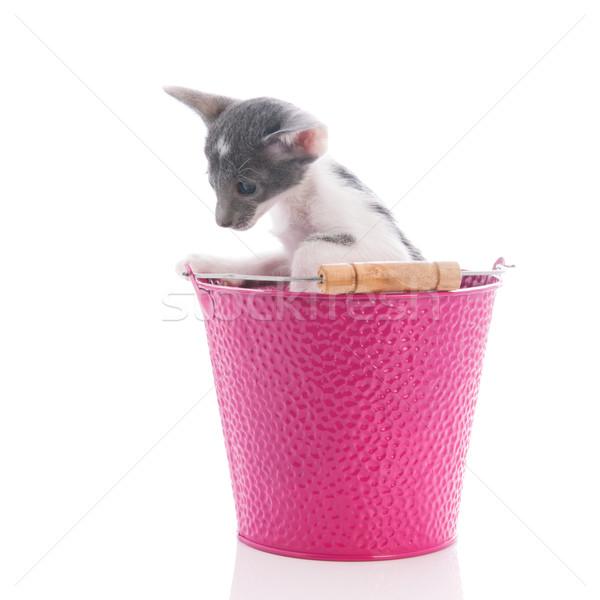 мало котенка сиамские кошки розовый ковша изолированный Сток-фото © ivonnewierink