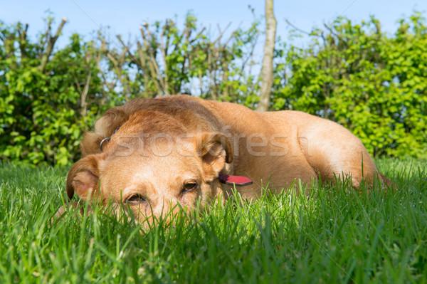 Velho cão ao ar livre sol Foto stock © ivonnewierink