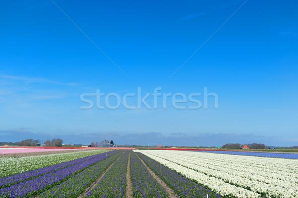 голландский пейзаж цветок красочный типичный гиацинт Сток-фото © ivonnewierink