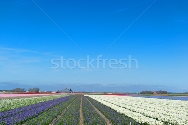 Dutch landscape with flower bulbs Stock photo © ivonnewierink
