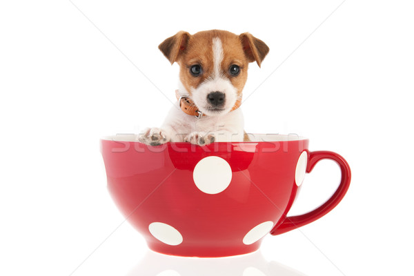 Six weeks old Jack Russel in big coffee cup Stock photo © ivonnewierink