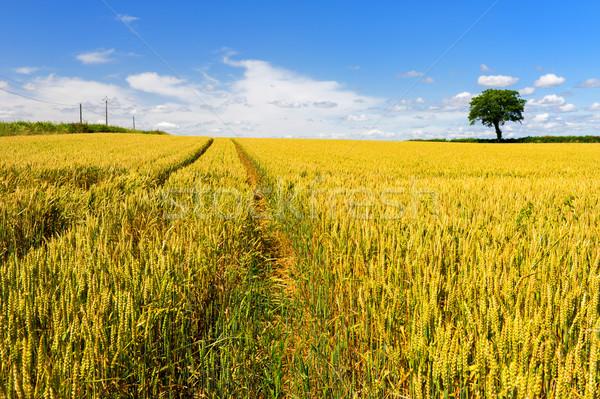 Wheat fields with tree Stock photo © ivonnewierink