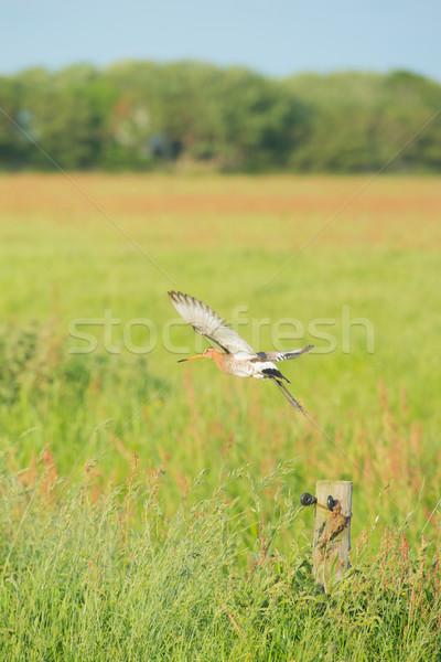 bar-tailed godwit in meadows Stock photo © ivonnewierink