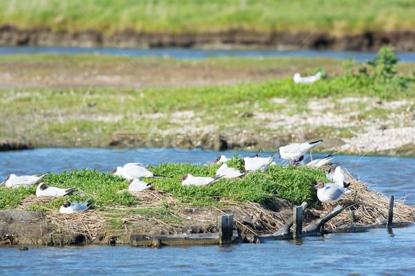 Breeding black-headed sea gulls Stock photo © ivonnewierink