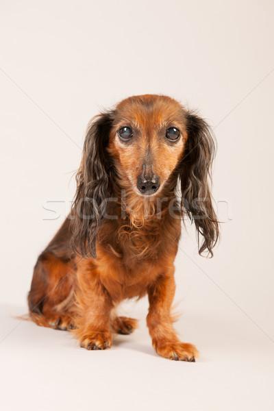 Tacskó bézs hosszú hajú ül díszállat senki Stock fotó © ivonnewierink