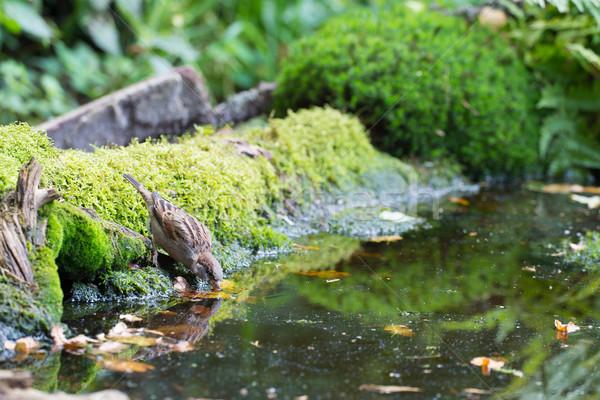 スズメ 飲料水 湖 水 自然 木 ストックフォト © ivonnewierink