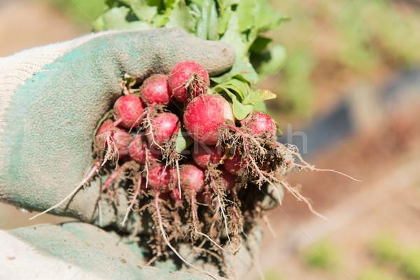 Kırmızı turp sebze bahçe bahçıvan bahar Stok fotoğraf © ivonnewierink