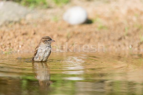 Férfi ház veréb víz fürdik természet Stock fotó © ivonnewierink