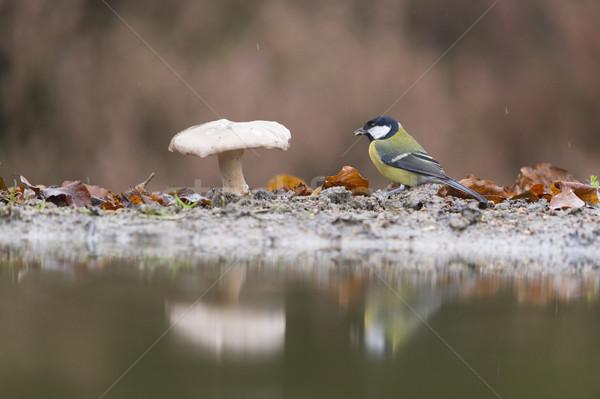 Teta cogumelo floresta água pássaro Foto stock © ivonnewierink