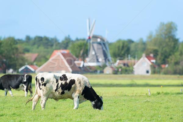 Kühe Landschaft holland Kuh grünen Stock foto © ivonnewierink