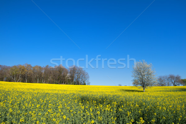 Blossom trees in rapeseed field Stock photo © ivonnewierink