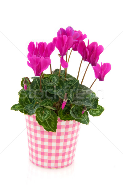 Pink Cyclamen for interior Stock photo © ivonnewierink