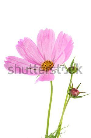 Cosmos flower Stock photo © ivonnewierink