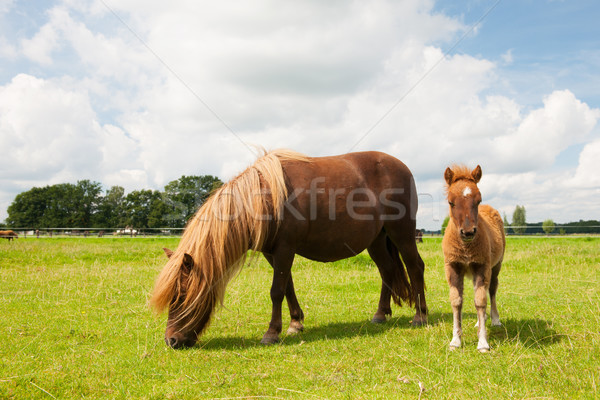 Pony and young foal in the meadows Stock photo © ivonnewierink