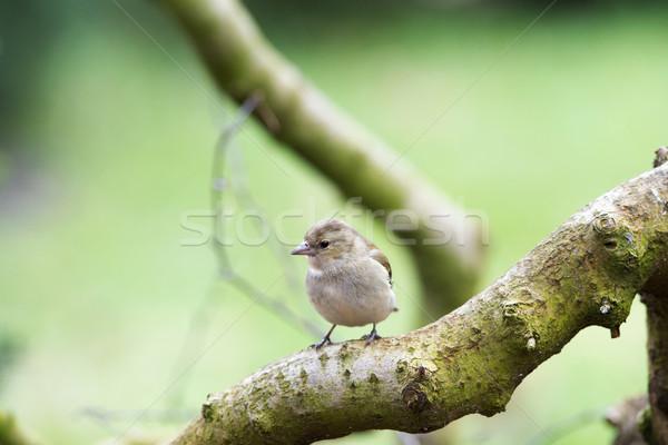 スズメ 自然 女性 森林 ストックフォト © ivonnewierink