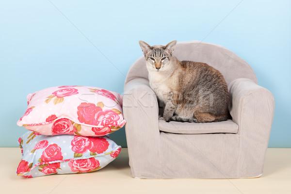 Sziámi macska szék kicsi kék állat Stock fotó © ivonnewierink