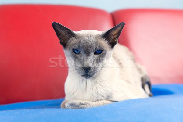 Kék pont sziámi macska felnőtt fektet pad Stock fotó © ivonnewierink