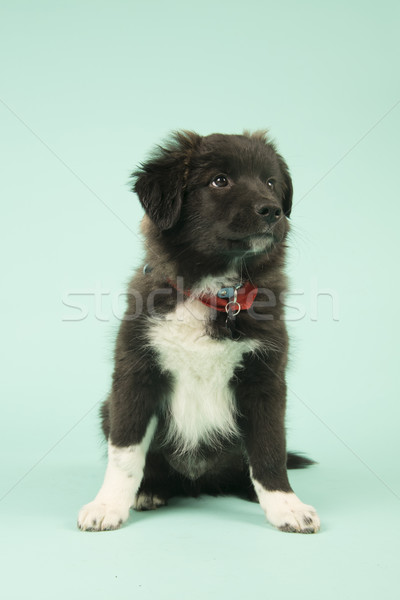 Cross breed Border Collie puppy on green Stock photo © ivonnewierink