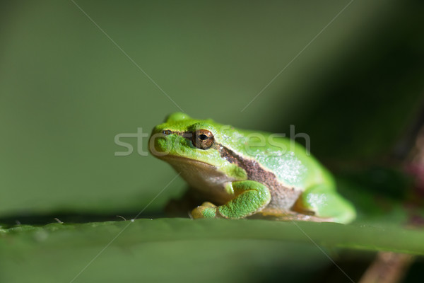 Tree frog Hyla arborea Stock photo © ivonnewierink