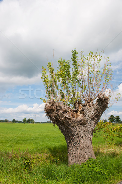 Wilg nederlands landschap boom voorjaar gras Stockfoto © ivonnewierink
