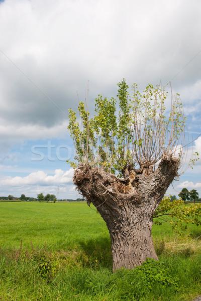 Salgueiro holandês paisagem árvore primavera grama Foto stock © ivonnewierink