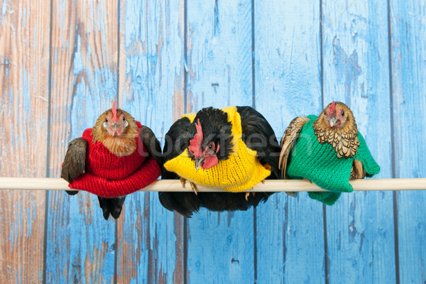Chickens with colorful sweaters in henhouse Stock photo © ivonnewierink
