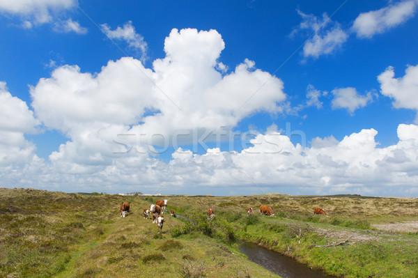 коров пейзаж скота голландский весны Сток-фото © ivonnewierink
