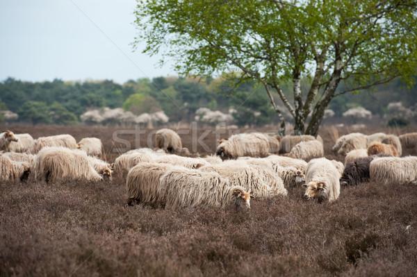 Sheep grazing in moorland Stock photo © ivonnewierink