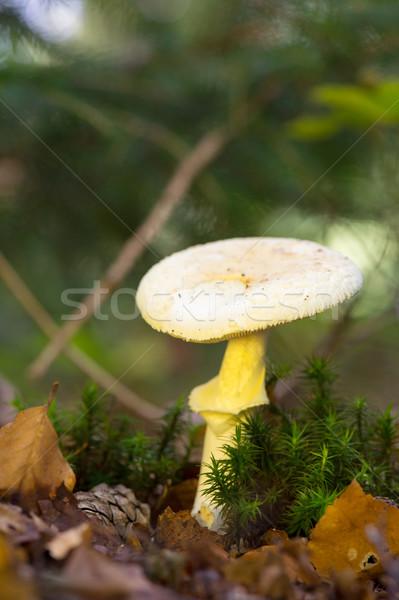 Hamis halál sapka erdő fehér gomba Stock fotó © ivonnewierink
