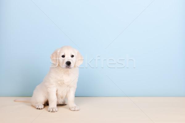 Szczeniak złoty niebieski młodych biały zwierząt Zdjęcia stock © ivonnewierink