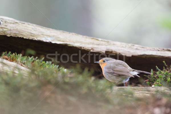 European Robin in tree Stock photo © ivonnewierink