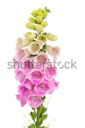 Purple Foxglove Stock photo © ivonnewierink